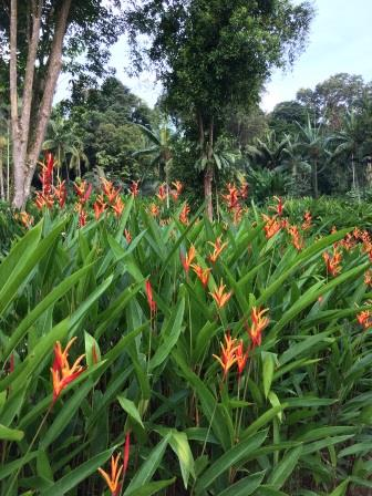 Orange orchids in Singapore's lush botanical garden