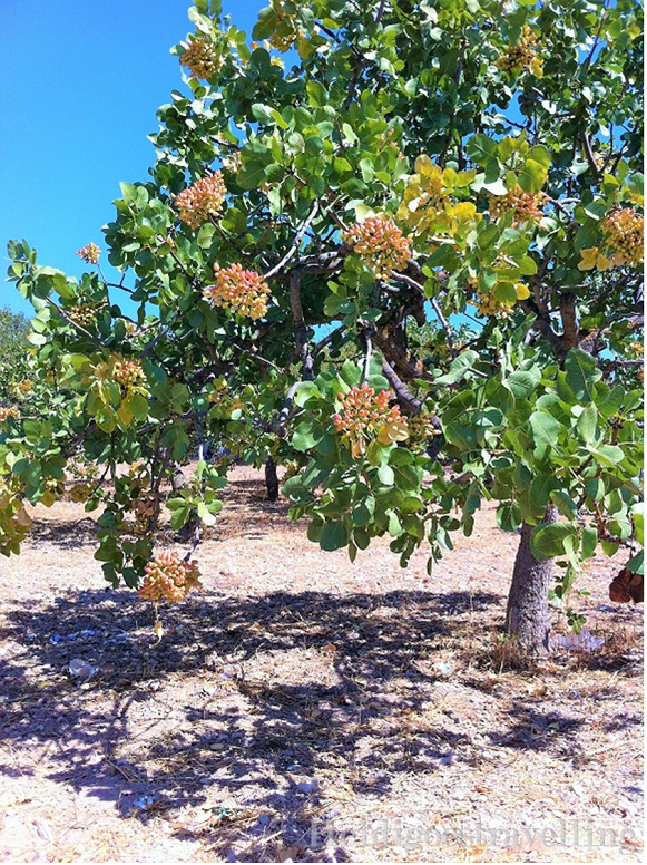 Pistachio tree on Aegina