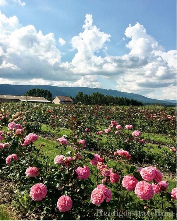 Photo d'un champ de roses rose bonbon
