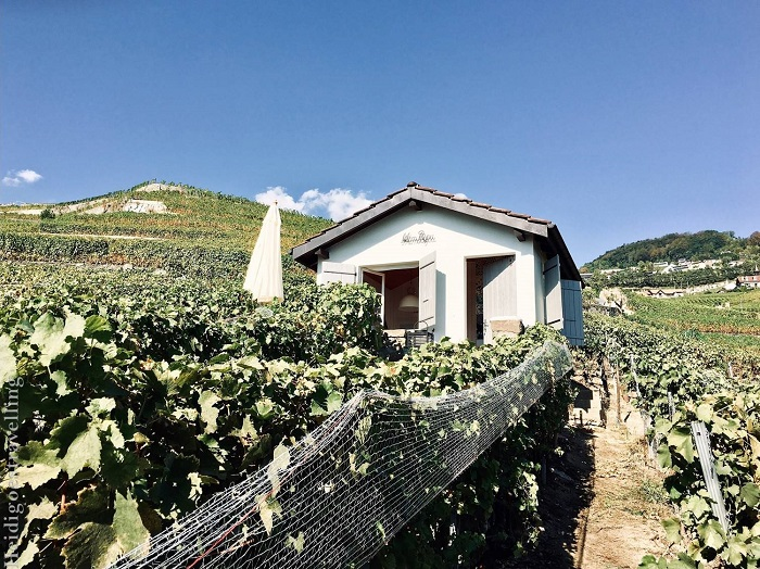 Picture of tiny white-painted house in the middle of vineyards