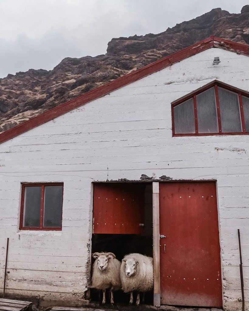 White and red house with two sheeps half in half out
